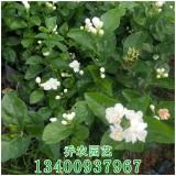 漳州高40公分虎头茉莉花