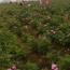 江蘇常年供應食用玫瑰