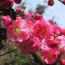 江苏红梅树