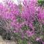 2公分紫荊樹