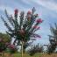3公分江苏紫薇树