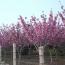 江苏常年供应重瓣榆叶梅