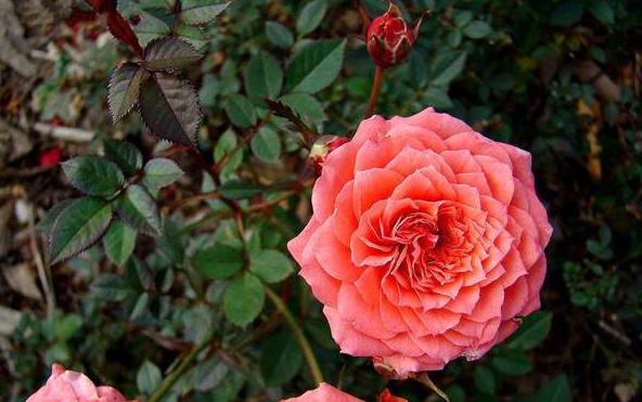 江蘇鉆石玫瑰