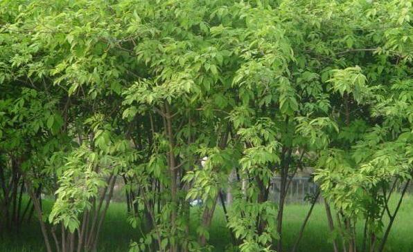 江苏常年供应金银木