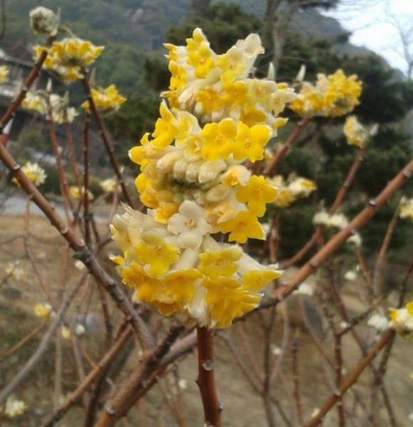 江苏常年供应结香花