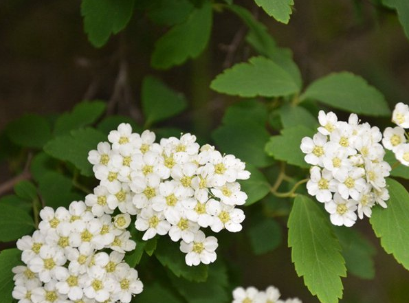 江苏常年供应美丽绣线菊