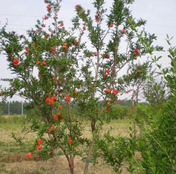 江苏石榴树