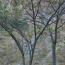 江苏合欢树