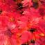 2公分美国红枫