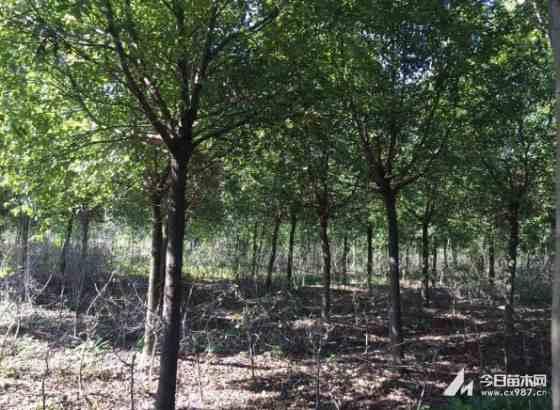 江苏香樟树
