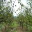 2米木瓜樹