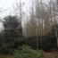 50公分棕树