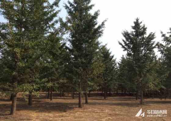 4米江苏银杏树