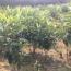 江苏常年供应枇杷树