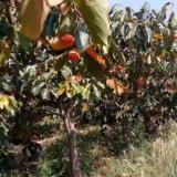江苏常年供应柿子树