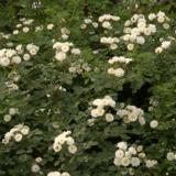 江苏蔷薇花苗