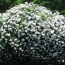 150公分藤本蔷薇