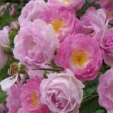 80公分粉团蔷薇