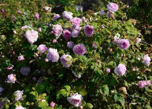 江苏法国蔷薇