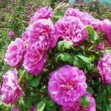 江苏藤玫瑰