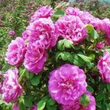 10公分玫瑰花