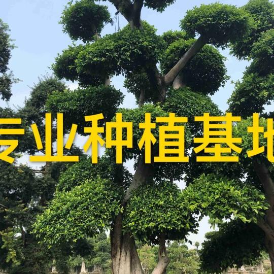 造型小叶榕价格