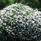 江苏常年供应密刺蔷薇