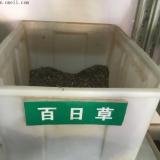 江苏百日草种子