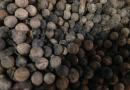 江苏香樟种子