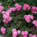 蔷薇种植基地  蔷薇批发价格 江苏蔷薇小苗