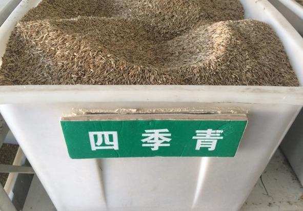 直銷四季青種子