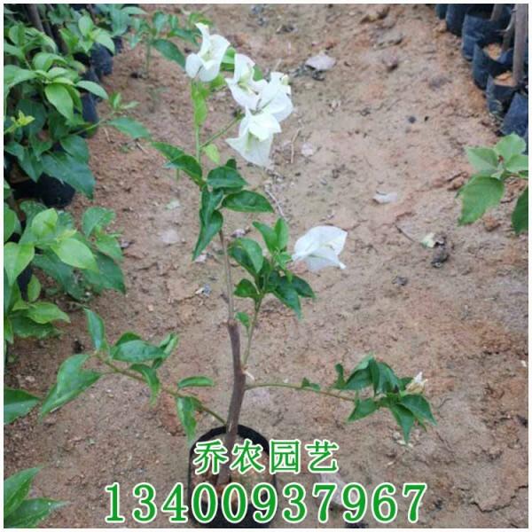 福建高20公分白色三角梅