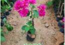福建高20公分玫瑰红三角梅小苗