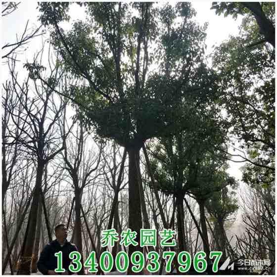 漳州20公分全冠香樟