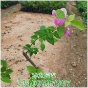漳州高20公分鸳鸯双色三角梅