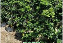 福建高1.2米榕树桩景