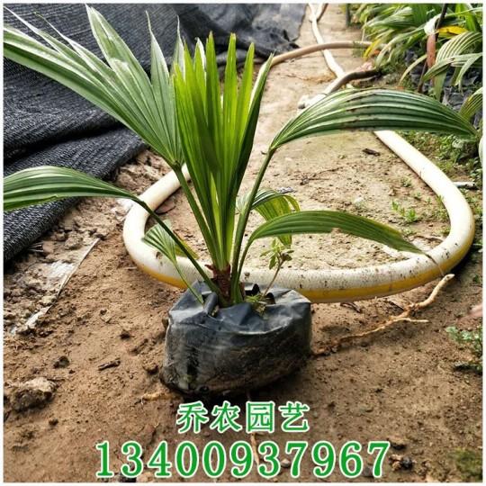 漳州高20公分蒲葵