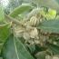 翅果油树种子