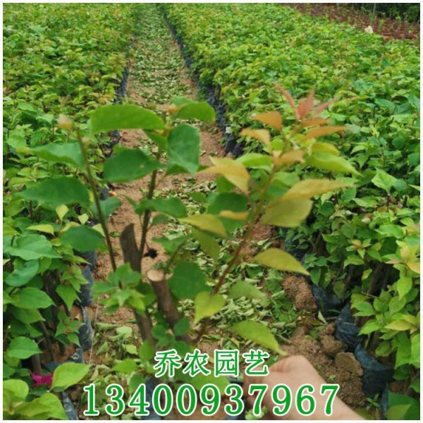 漳州高20公分三角梅