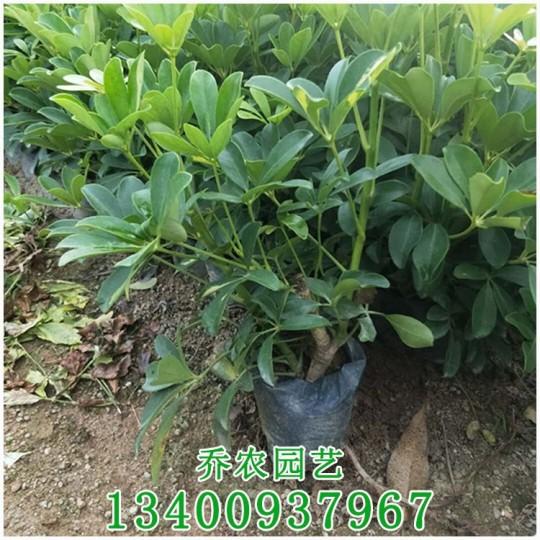 漳州高30公分鸭脚木