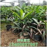福建棕竹袋苗