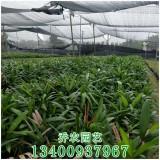 高度30-80公分福建棕竹