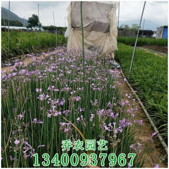 漳州高35公分紫娇花小苗