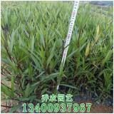 漳州高50公分紫花卢莉