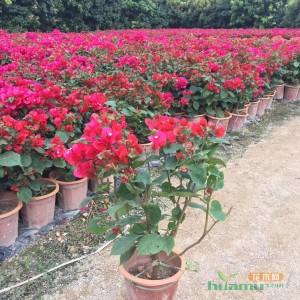 大红三角梅  潮州红 高度40  批发