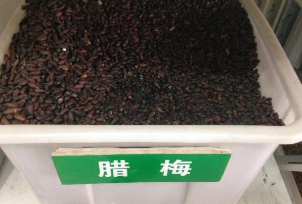 供應臘梅種子