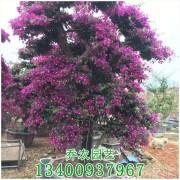 福建紫色造型三角梅桩景