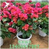 漳州高60公分中国红三角梅盆栽
