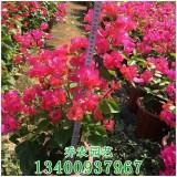 漳州高50公分同安红三角梅盆栽