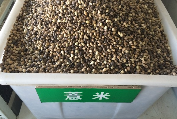 薏米种子批发